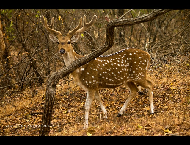 Wildlife at Gir National park