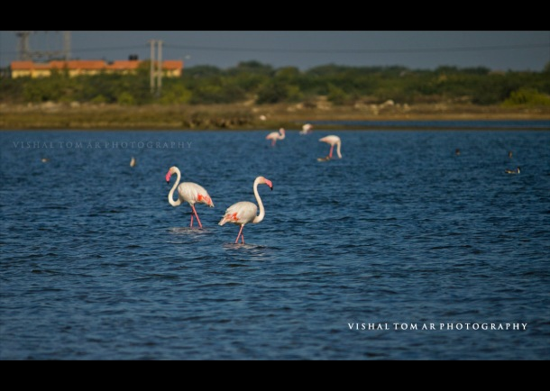 Flamingoes on the way to Jamnagar.